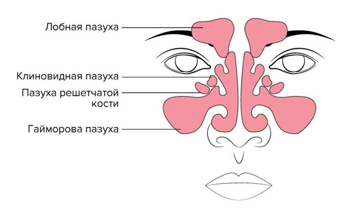 Строение синусов